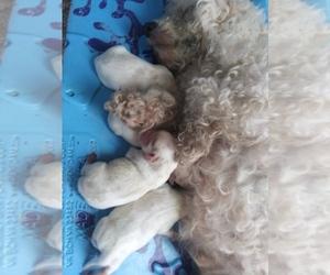 Cavachon Puppy for sale in HILBERT, WI, USA