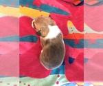 Small Photo #3 Pembroke Welsh Corgi Puppy For Sale in RAMONA, OK, USA