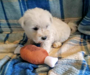 West Highland White Terrier Dog for Adoption in MOUNTAINBURG, Arkansas USA