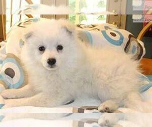 American Eskimo Dog Dog for Adoption in KOKOMO, Indiana USA