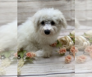 Bichon Frise Puppy for sale in HOT SPRINGS, AR, USA