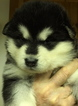 AKC Giant Alaskan Malamute Puppies
