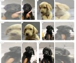 Labradoodle-Labrador Retriever Mix Puppy For Sale in MYRTLE BEACH, SC, USA