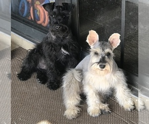 Mother of the Schnauzer (Miniature) puppies born on 11/14/2019