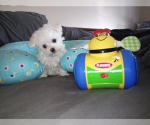 Maltese Puppy for Sale in LEXINGTON, Kentucky USA