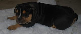 American Bulldog Puppy For Sale in WALWORTH, WI
