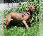 Small #136 Australian Shepherd-Chocolate Labrador retriever Mix