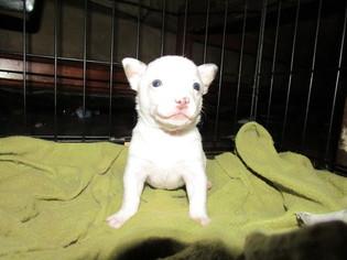 Chihuahua Puppy for sale in SALUDA, SC, USA