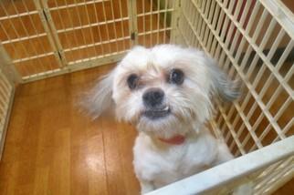 Shih Tzu Puppy For Sale in PATERSON, NJ