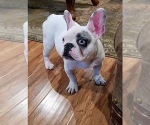 Father of the French Bulldog puppies born on 11/13/2020