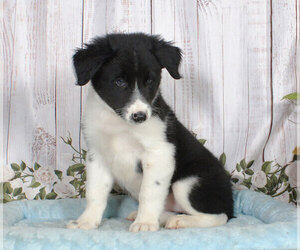Border Collie Puppy for sale in PENNS CREEK, PA, USA