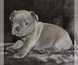 French Bulldog Puppy for sale in FAYETTEVILLE, NC, USA