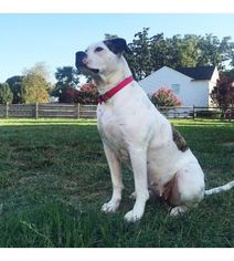 American Bulldog Dog For Adoption in MOORESVILLE, NC, USA