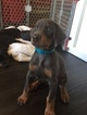 Doberman Pinscher Puppy For Sale in MIDDLETOWN, NY, USA