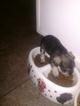 Schnauzer (Miniature) Puppy For Sale in ROANOKE, AL, USA