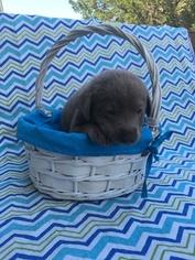 Labrador Retriever Puppy For Sale in LEBANON, MO