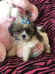 Shih Tzu Puppy for sale in SARASOTA, FL, USA