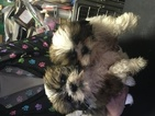 Shih Tzu Puppy For Sale in CANONSBURG, PA
