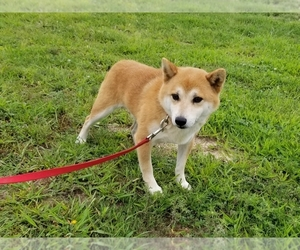 Father of the Shiba Inu puppies born on 10/08/2019