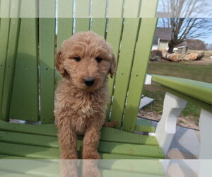 Labradoodle Puppy for sale in GRAND HAVEN, MI, USA