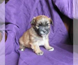 Shiranian Puppy for sale in LE MARS, IA, USA