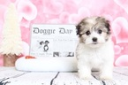 Havanese Puppy For Sale in BEL AIR, MD, USA