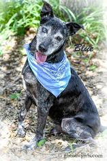 Blue - Labrador Retriever Dog For Adoption