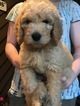 Golden Retriever-Goldendoodle Mix Puppy For Sale in MOORESVILLE, NC, USA