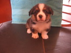 Pembroke Welsh Corgi Puppy For Sale in KINGSVILLE, MO