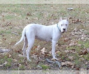 Mother of the Dogo Argentino puppies born on 07/08/2020