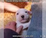 Small #35 Dogo Argentino