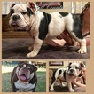 Bulldog Puppy For Sale in SAN ANTONIO, TX,
