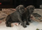 Cane Corso Puppy For Sale in LONG BRANCH, NJ, USA
