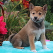 Shiba Inu Puppy For Sale in GAP, PA, USA