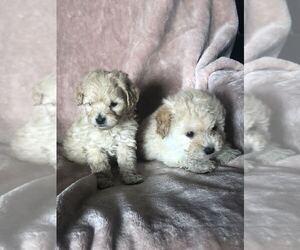 Maltipoo Puppy for sale in SAN FERNANDO, CA, USA