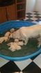 Labrador Retriever Puppy For Sale in WINDER, GA,