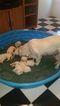 Labrador Retriever Puppy For Sale in WINDER, GA, USA