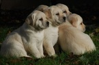 Labrador Retriever Puppy For Sale in LACEY, WA, USA