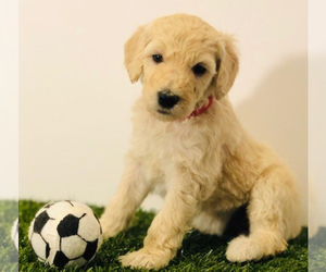 Sheepadoodle Dog for Adoption in SAN ANTONIO, Texas USA
