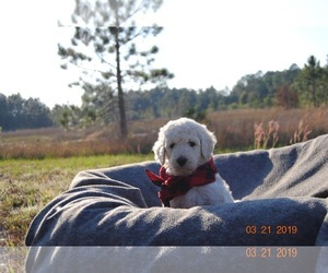 Golden Retriever-Goldendoodle Mix Puppy for Sale in WEIRSDALE, Florida USA