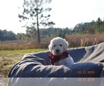 Golden Retriever-Goldendoodle Mix Puppy For Sale in WEIRSDALE, FL, USA