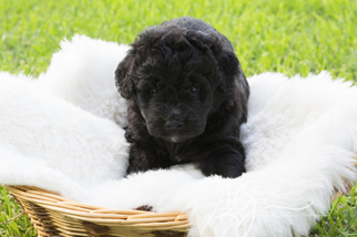 View Ad: Aussiedoodle Puppy for Sale near Texas, AZLE, USA  ADN-92306