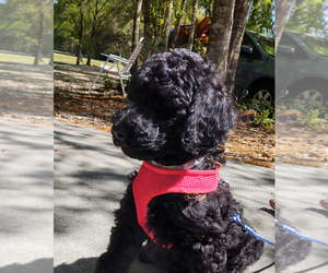 Poodle (Standard) Puppy for Sale in WIMAUMA, Florida USA