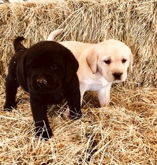 Labrador Retriever Puppy For Sale in MARBLE FALLS, TX, USA