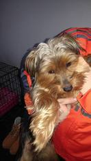 Yorkshire Terrier Puppy For Sale in WILLSBORO, NY