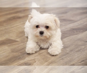 Maltese Dog for Adoption in LOS ANGELES, California USA