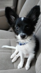 Papillon Dog For Adoption in WICHITA, KS, USA