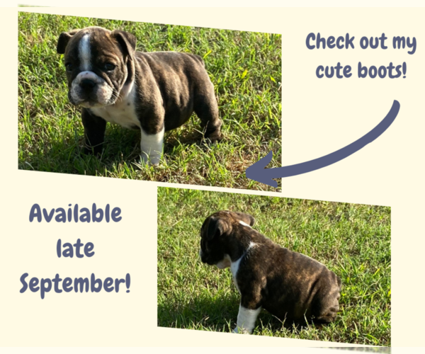 Medium Photo #3 English Bulldog Puppy For Sale in NEOSHO, MO, USA