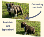 Small Photo #3 English Bulldog Puppy For Sale in NEOSHO, MO, USA