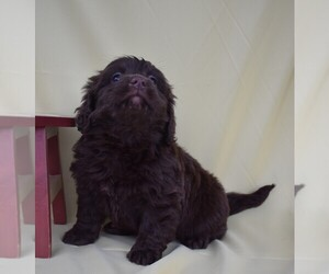 Labradoodle-Poodle (Miniature) Mix Puppy for sale in BECKS MILLS, OH, USA